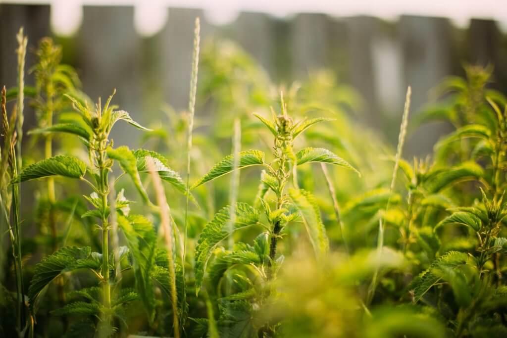 Mlado lišće koprive sadrži 20 puta više vitamina C nego primjerice zelena salata.